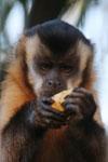 Black-capped capuchin (Cebus apella) [bonito_0621]