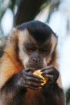 Tufted capuchin [bonito_0622]