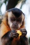 Black-capped capuchin [bonito_0624]