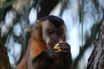 Tufted capuchin (Cebus apella) [bonito_0626]
