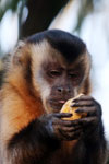 Tufted capuchin monkey (Cebus apella) [bonito_0627]