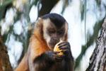 Brown capuchin monkey (Cebus apella) [bonito_0629]