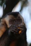 Black-capped capuchin monkey (Cebus apella) [bonito_0630]