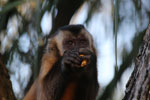 Tufted capuchin monkey [bonito_0632]