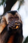 Brown capuchin monkey [bonito_0633]