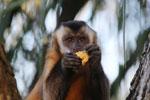 Brown capuchin (Cebus apella) [bonito_0634]