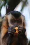 Black-capped capuchin monkey [bonito_0635]