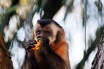 Black-capped capuchin (Cebus apella) [bonito_0637]