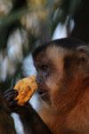 Tufted capuchin [bonito_0638]