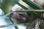 Brown capuchin (Cebus apella) [bonito_0640]