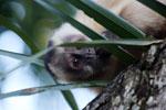 Black-capped capuchin [bonito_0641]