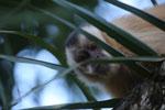 Black-capped capuchin (Cebus apella) [bonito_0642]