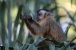 Tufted capuchin [bonito_0644]