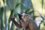 Brown capuchin [bonito_0645]