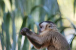 Black-capped capuchin [bonito_0646]