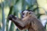 Tufted capuchin monkey (Cebus apella) [bonito_0647]