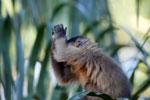 Tufted capuchin monkey (Cebus apella) [bonito_0648]