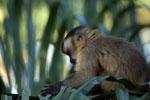 Brown capuchin monkey (Cebus apella) [bonito_0649]
