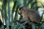 Brown capuchin monkey (Cebus apella) [bonito_0650]