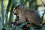 Black-capped capuchin monkey (Cebus apella) [bonito_0651]
