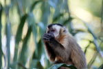 Black-capped capuchin monkey [bonito_0656]