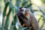 Tufted capuchin monkey [bonito_0657]