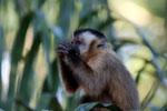 Tufted capuchin (Cebus apella) [bonito_0658]