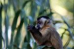 Brown capuchin monkey [bonito_0659]