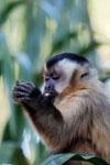 Brown capuchin (Cebus apella) [bonito_0660]