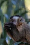 Black-capped capuchin (Cebus apella) [bonito_0661]
