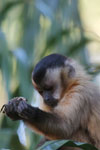 Tufted capuchin [bonito_0662]