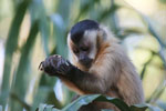 Brown capuchin [bonito_0663]