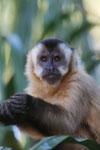 Black-capped capuchin [bonito_0664]