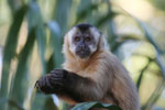 Black-capped capuchin monkey [bonito_0665]