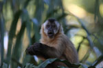 Tufted capuchin monkey (Cebus apella) [bonito_0666]