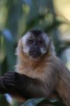 Tufted capuchin (Cebus apella) [bonito_0668]