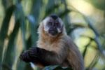 Brown capuchin (Cebus apella) [bonito_0670]