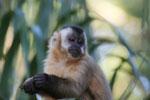 Tufted capuchin (Cebus apella) [bonito_0671]