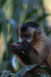 Black-capped capuchin (Cebus apella) [bonito_0674]
