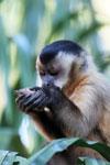 Tufted capuchin [bonito_0675]