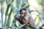 Brown capuchin [bonito_0676]
