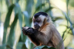 Black-capped capuchin [bonito_0677]