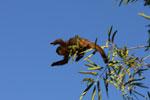 Tufted capuchin monkey (Cebus apella) [bonito_0678]