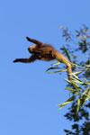 Brown capuchin monkey (Cebus apella) [bonito_0679]
