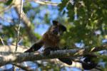 Black-capped capuchin monkey (Cebus apella) [bonito_0681]