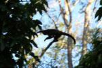 Black-capped capuchin monkey [bonito_0685]