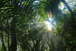 Rays of sun penetrating the forest canopy [bonito_0699]