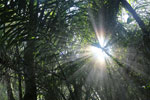 Rays of sun penetrating the forest canopy