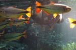 Fish in Bonito's Rio da Prata [bonito_0761]