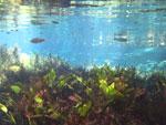 Fish in Bonito's Rio da Prata [bonito_0775]